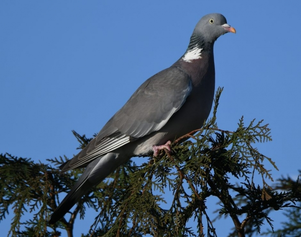 Woodpigeon by Dave Levy - Mar 20th, Basingstoke