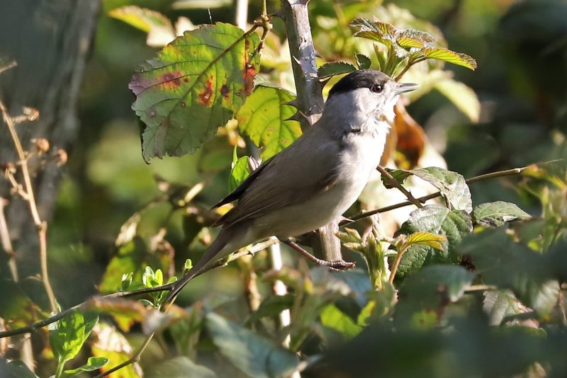 Blackcap by Brian Cartwright - Apr 11th, Anton Lakes