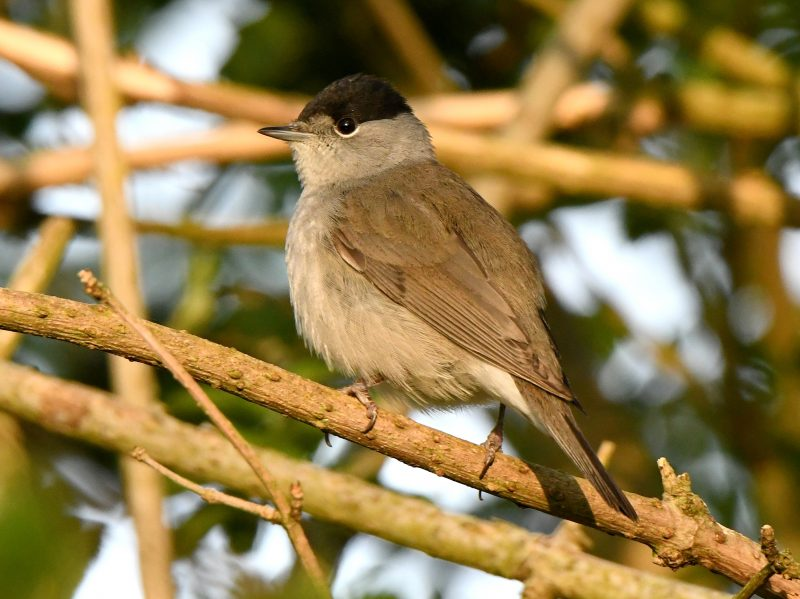 Blackcap by Dave Levy - Apr 16th, Basingstoke