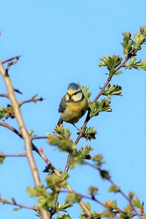 Blue Tit by Brian Cartwright - Apr 5th, Anton Lakes