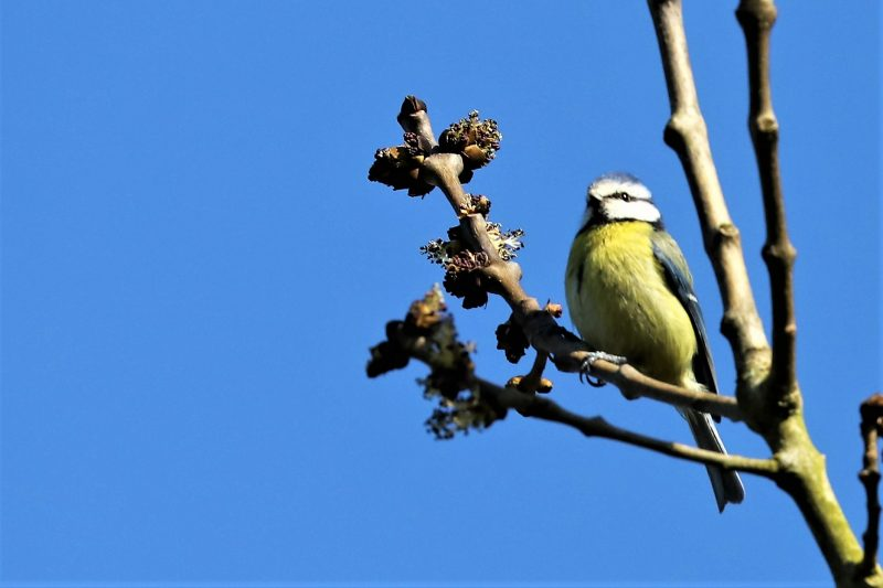 Blue Tit by Brian Cartwright - Mar 26th, Anton Lakes