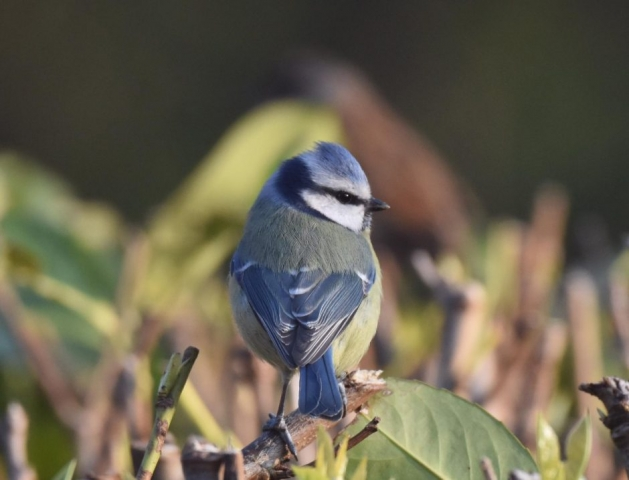 Blue Tit by Peter Hyde - Mar 28th, Hamble