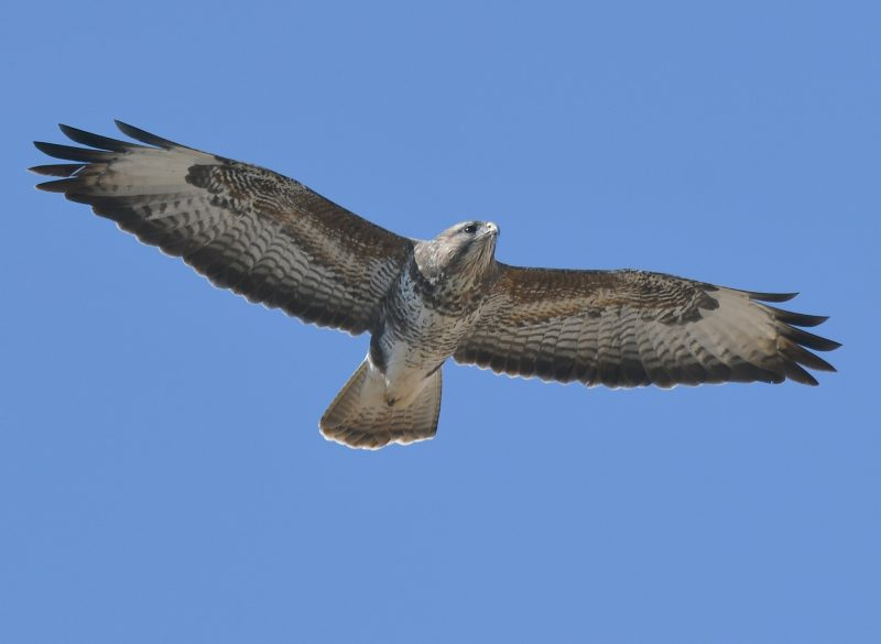 Buzzard by Dave Levy - Mar 26th, Polhampton