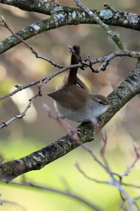 Cettis Warbler by Brian Cartwright - Apr 6th, Anton Lakes