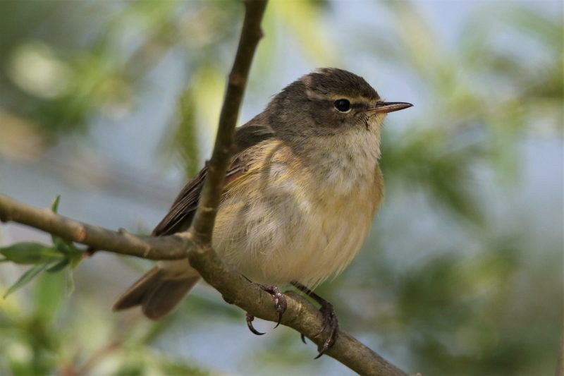 Chiffchaff by Andy Tew - Apr 14th, Fishlake Meadows