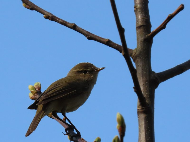 Chiffchaff by John Shillitoe - Apr 10th, Wickham