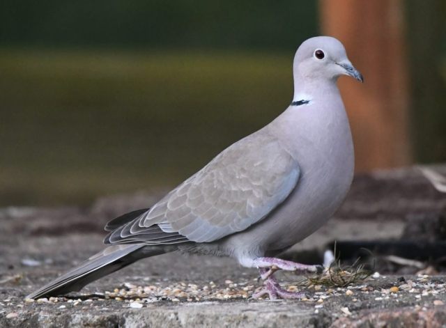 Collared Dove by Dave Levy - Apr 5th, Basingstoke