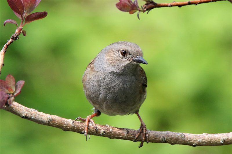 Dunnock by Andy Tew - Apr 12th, Romsey