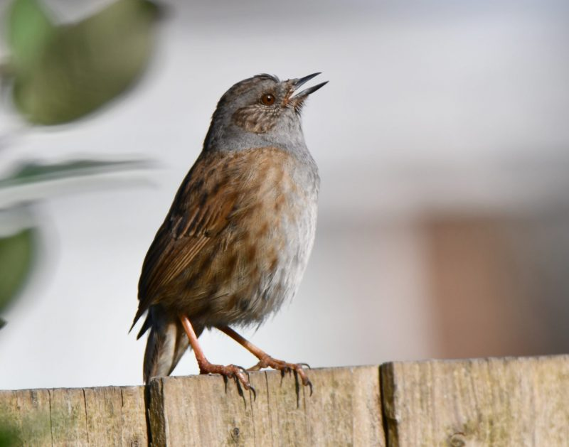 Dunnock by Dave Levy - Apr 8th, Basingstoke