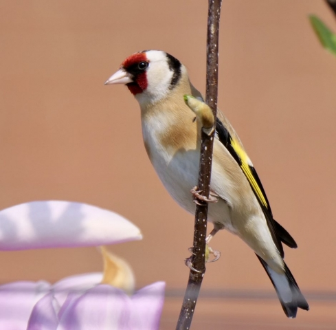 Goldfinch by Rob Porter-Apr 10th, Maybush, Southampton