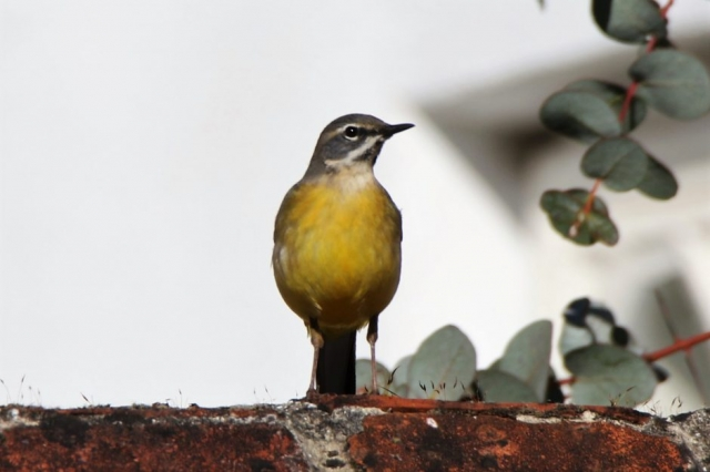 Grey Wagtail by Andy Tew - Apr 4th, Romsey