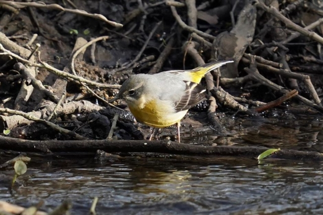 Grey Wagtail by John Scamell - Mar 21st, Woodmill