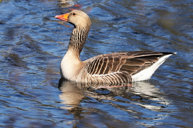 Greylag by Brian Cartwright - Mar 26th, Anton Lakes