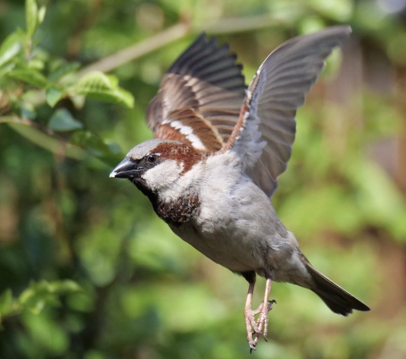 House Sparrow by Rob Porter-April 4th, Maybush, Southampton