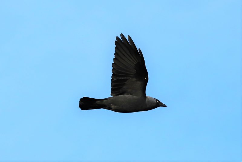 Jackdaw by Brian Cartwright - Apr 14th, Anton Lakes