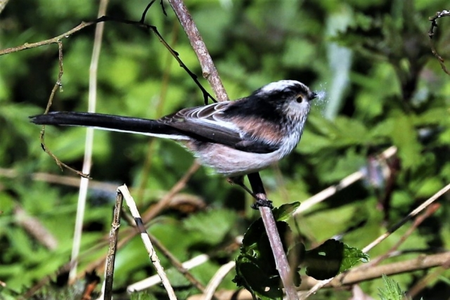 Long-tailed Tit by Brian Cartwright - Mar 25th, Anton Lakes
