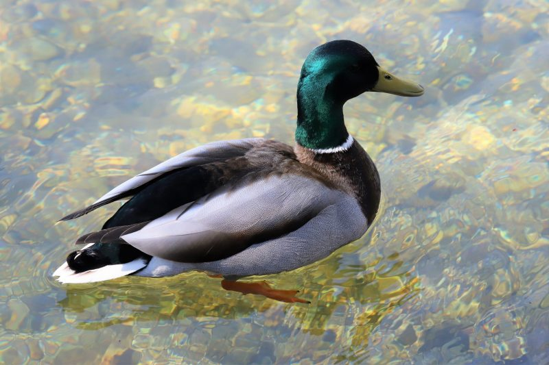 Mallard by Brian Cartwright - Mar 25th, Anton Lakes