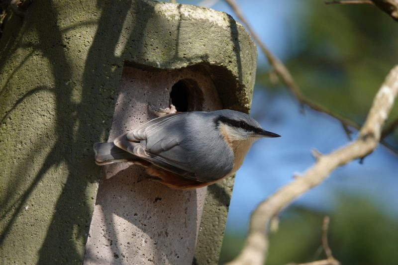 Nuthatch by Linda Fuller - Apr 20th, New Milton