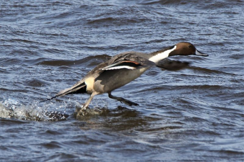 Pintail by Andy Tew - Mar 21st, Pennington Marshes
