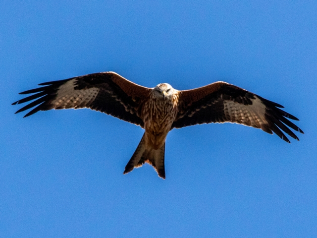 Red Kite by Mike Duffy - Mar 24th, Hampshire