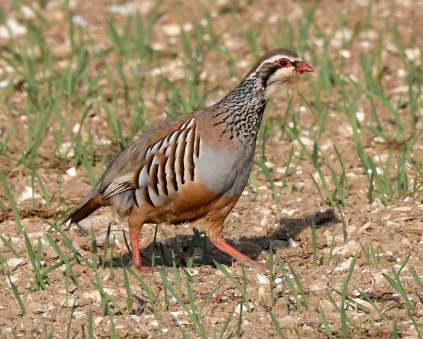 Red-legged Partridge by Dave Levy - Apr 16th, Basingstoke