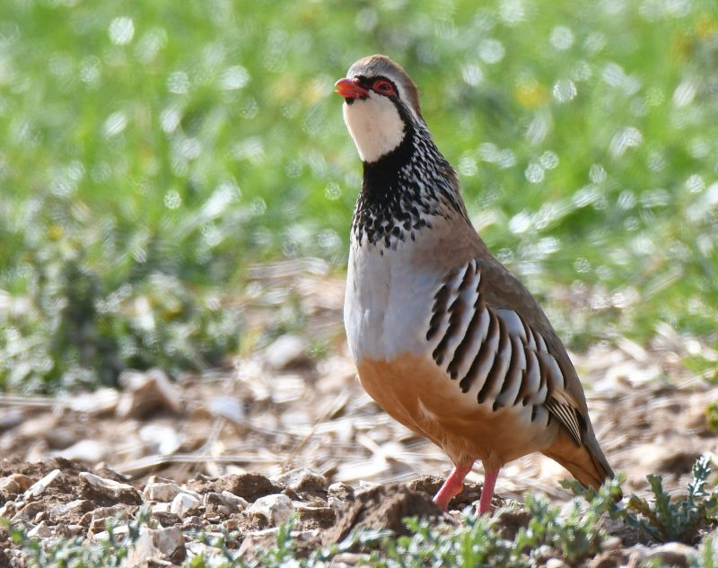 Red-legged Partridge by Dave Levy - Apr 6th, Basingstoke