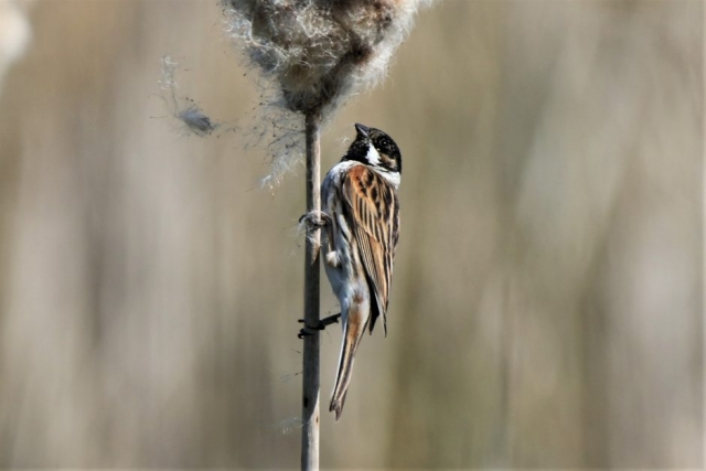 Reed Bunting by Andy Tew - Apr 14th, Fishlake Meadows