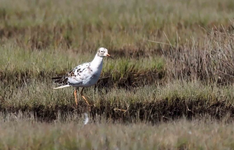 Ruff by Chrissie Whiffen - Mar 23rd, Pennington Marshes