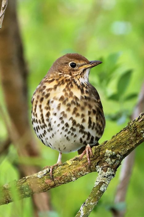 Song Thrush by Brian Cartwright - Apr 14th, Anton Lakes