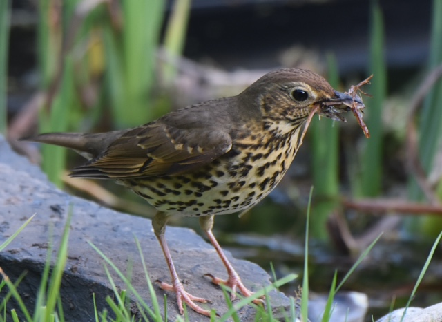 Song Thrush by Peter Hyde - Mar 28th, Hamble