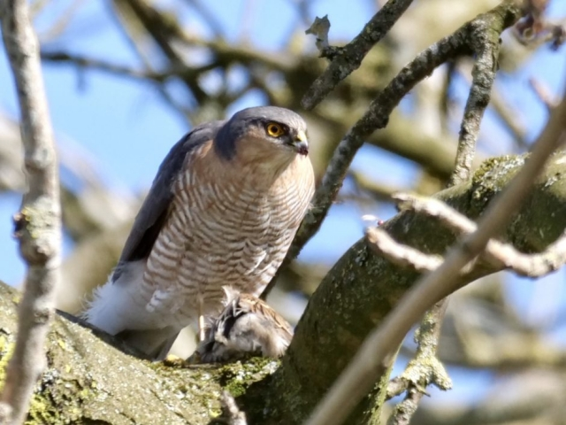 Sparrowhawk by Rob Porter- Mar 23rd, Maybush, Southampton