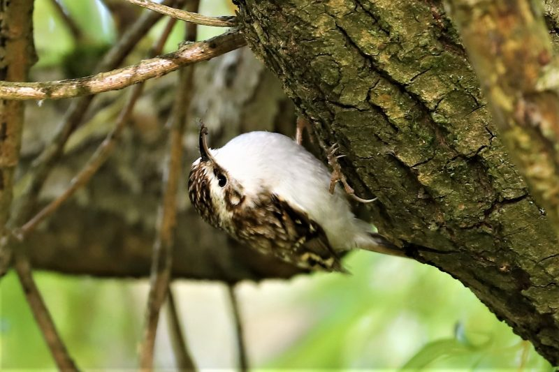 Treecreeper by Brian Cartwright - Apr 14th, Anton Lakes