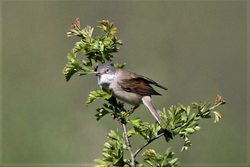Whitethroat by Andy Tew - Apr 21st, Fishlake Meadows