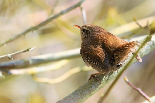 Wren by Brian Cartwright - Mar 25th, Anton Lakes