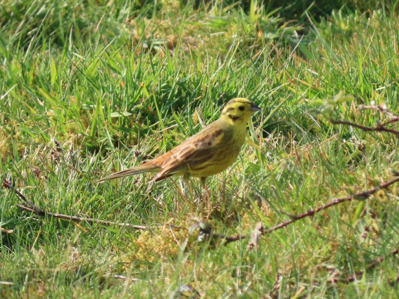 Yellowhammer by Kay Shillitoe - Apr 9th, Wickham Common