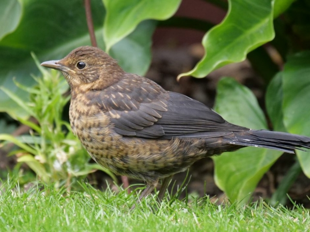 Blackbird (Fledgling) by Rob Porter-May 14th, Maybush, Southampton