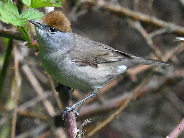 Blackcap by Tony Brown - May 2nd, Edenbrook CP