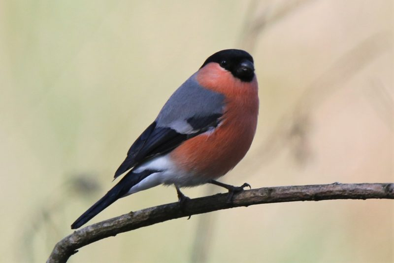 Bullfinch by Andy Tew - Apr 23rd, Fishlake Meadows