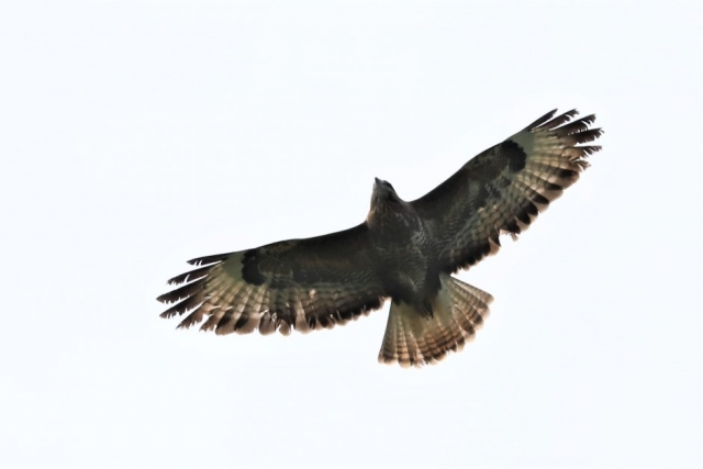 Buzzard by Brian Cartwright - May 5th, Anton Lake