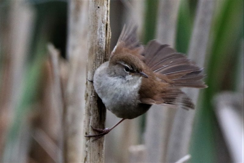 Cettis Warbler by Andy Tew - Apr 29th, Fishlake Meadows