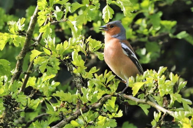 Chaffinch by Brian Cartwright - May 3rd, Anton Lake