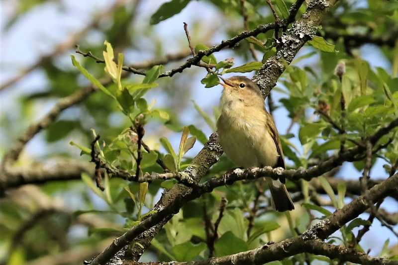 Chiffchaff by Brian Cartwright - May 5th, Anton Lake