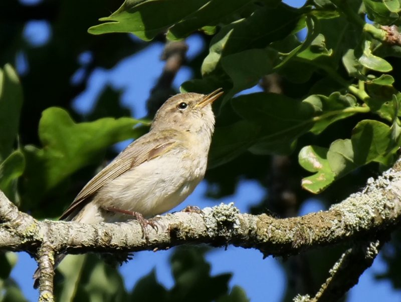Chiffchaff by Rob Porter-May 20th, Skidmore, Nursling