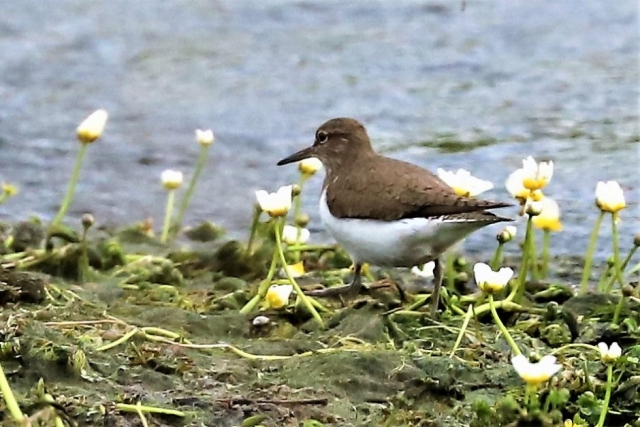 Common Sandpiper by Brian Cartwright - Apr 29th, Anton Lakes