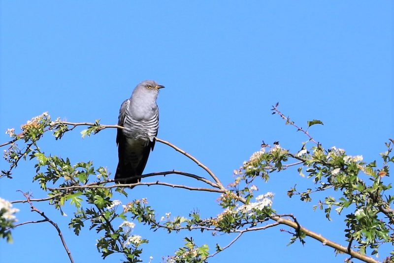 Cuckoo by Brian Cartwright - May 12th, Anton Lake