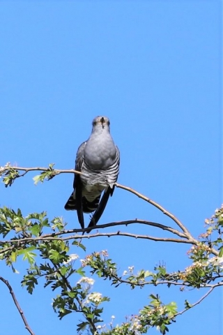 Cuckoo by Brian Cartwright - May 12th, Anton Lakes