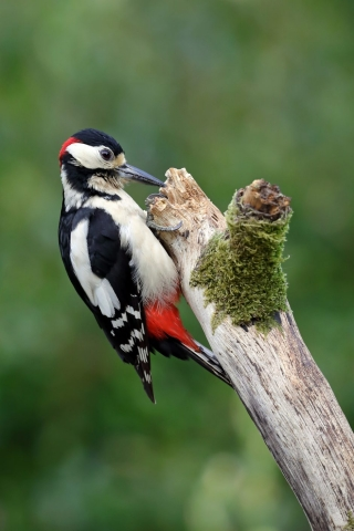 Great Spotted Woodpecker by Richard Jacobs - May 17th, Chandlers Ford