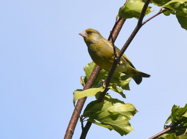 Greenfinch by Dave Levy - May 19th, Basingstoke