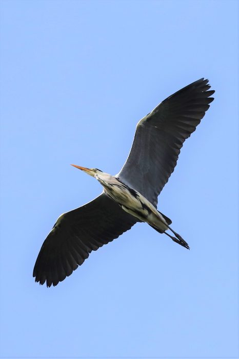 Grey Heron by Brian Cartwright - May 10th, Anton Lake