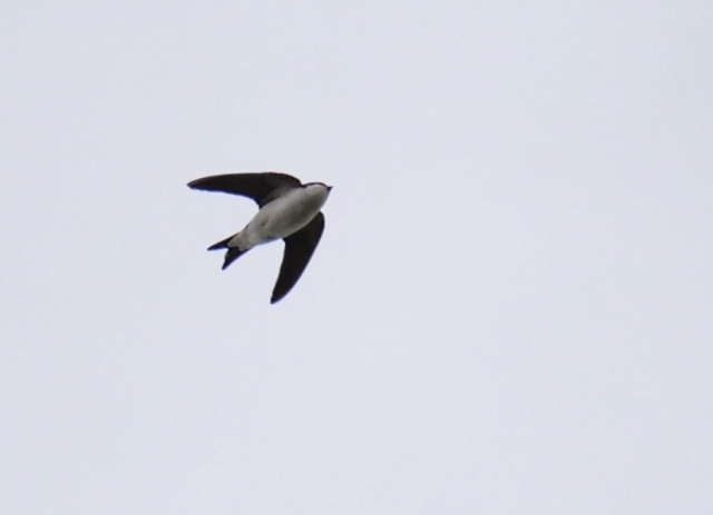 House Martin by Rob Porter-May 4th, Maybush, Southampton